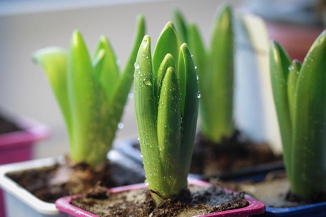 В теплом помещении на свету гиацинты быстро трогаются в рост
