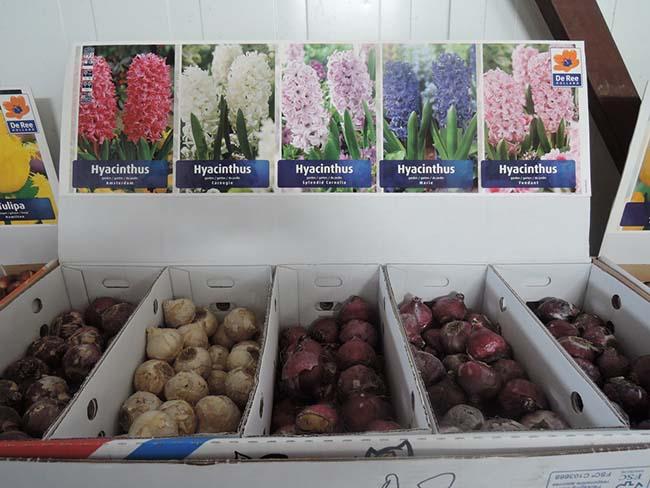 Луковицы гиацинтов в продаже осенью