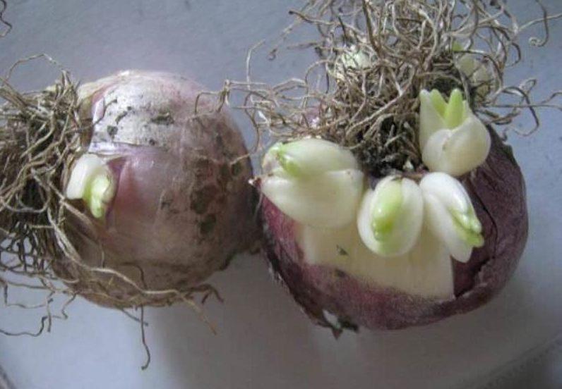 Размножение гиацинтов дочерними луковицами