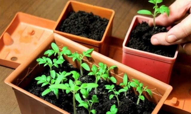 Пикировка саженцев томатов из ящика в отдельные горшочки