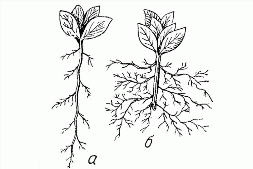 Корневые системы с усечением корня и без