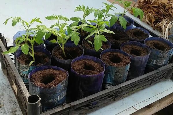 Обрезанные пластиковые бутылки - емкости для пикирования томатов