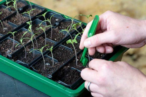 Корень ростка томата поддевают лопаткой