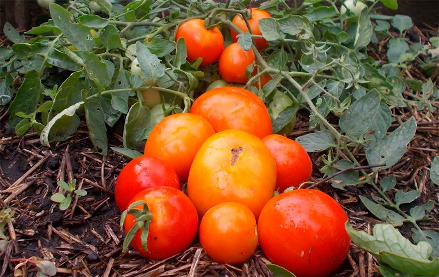 помидоры монгольский карлик выращивание и уход