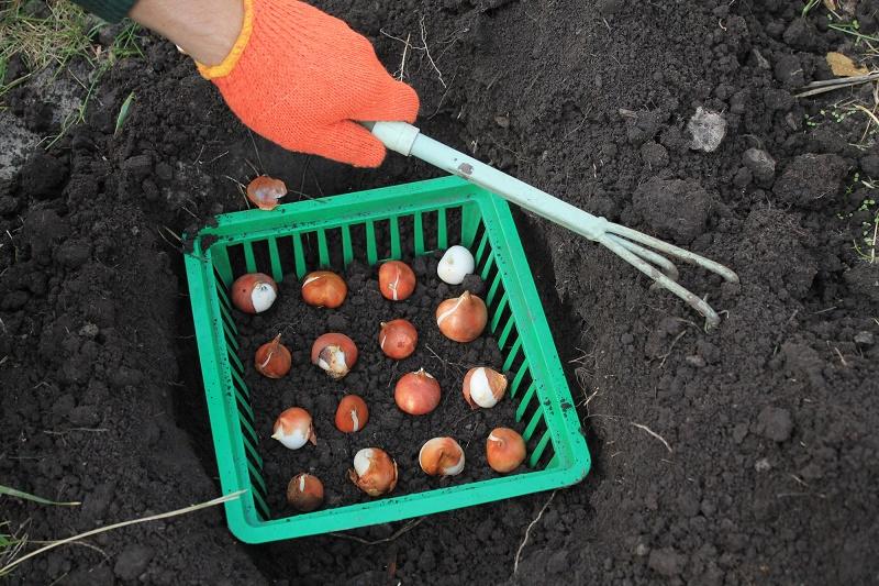 Посадка луковиц тюльпанов в корзины