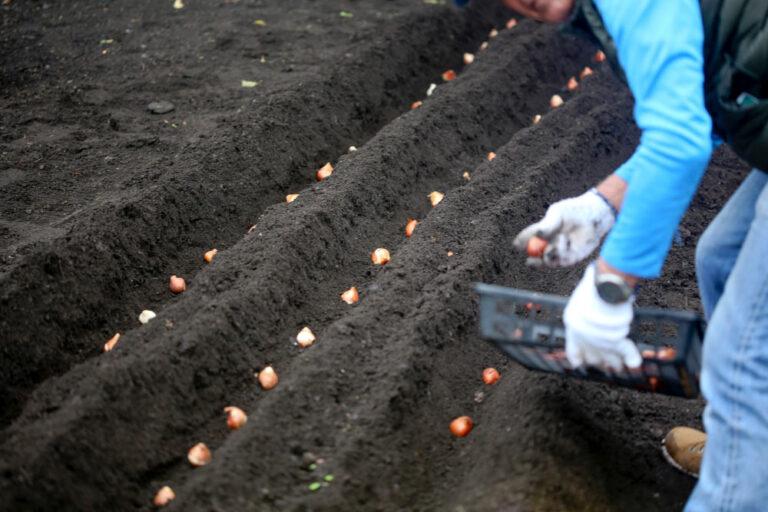 Посадка тюльпанов в борозды осенью