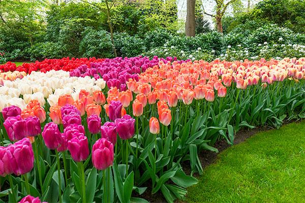 Прекрасные весенние цветы - награда за труды осенью