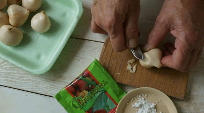 Лечение поврежденных луковиц тюльпанов