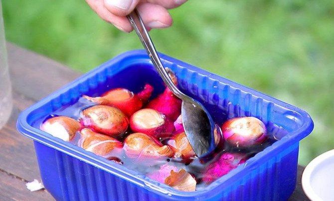 Замачивание луковиц в марганцовке