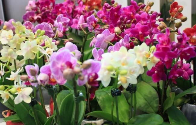 Уход за орхидеями в домашних условиях не сложен