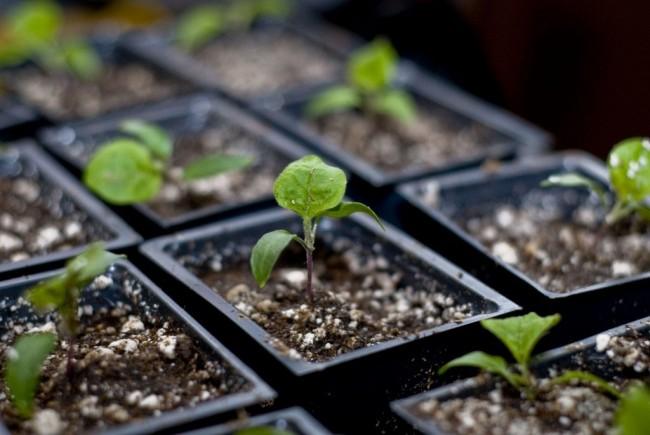 Выращивание рассады баклажан в отдельных горшочках