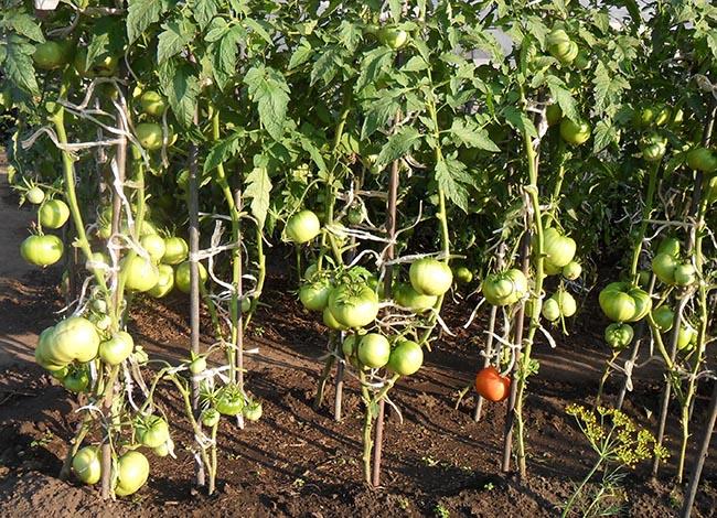 Формирование полудетерминантных томатов в 2 стебля