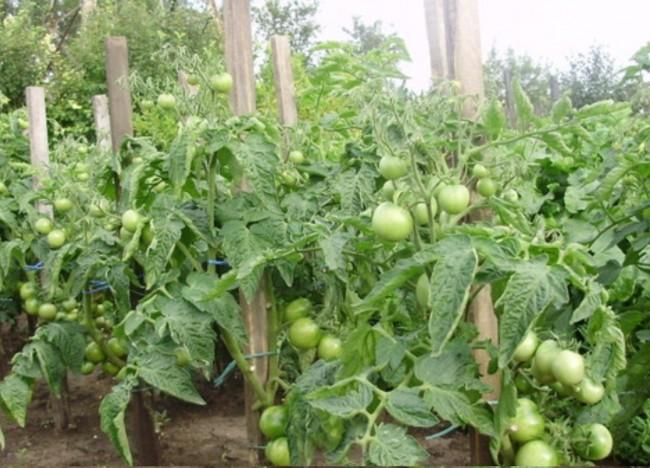 Штамбовые и супердетерминантные помидоры обычно не пасынкуют