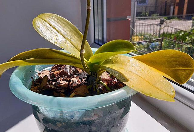 Листья у орхидеи желтеют по ряду причин