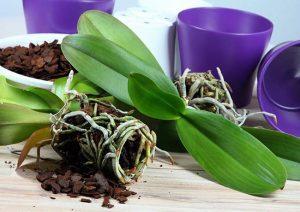 Как пересадить орхидею правильно