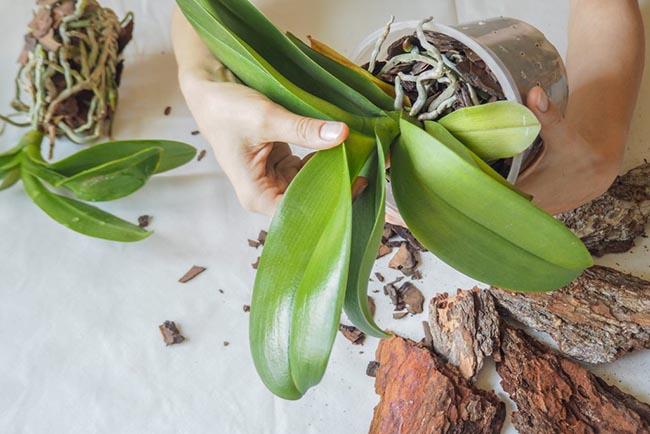 Достаем орхидею их горшка