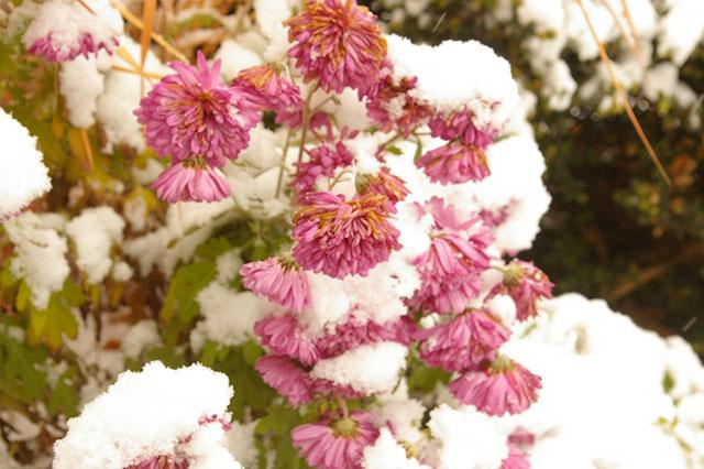 Укрытие хризантем зимой