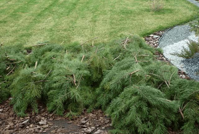 Хризантемы, укрытые еловыми ветками (лапником)